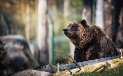 Medvěd je tady